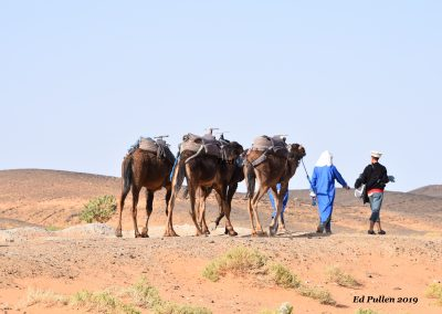 Camels 2019-04-27 Morocco