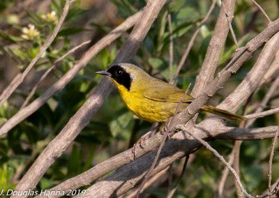 Hooded Yellowthroat[E]