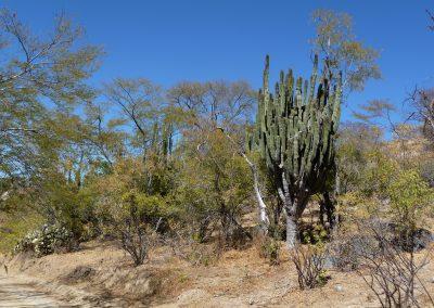 Cactus forest, Sierra de la Laguna