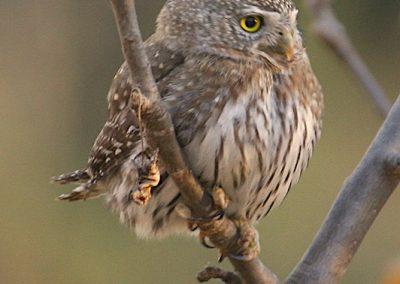 Cape Pygmy-Owl, San Antonio de la Sierra