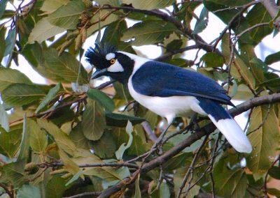 Tufted Jay, Sinaloa (Jim Livaudais)