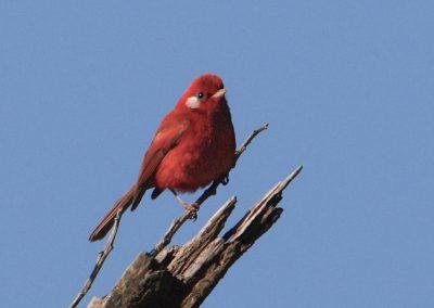 Red Warbler, Sinaloa (Jim Livaudais)