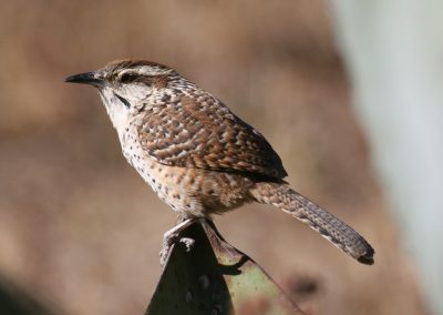 Spotted Wren, Tepic