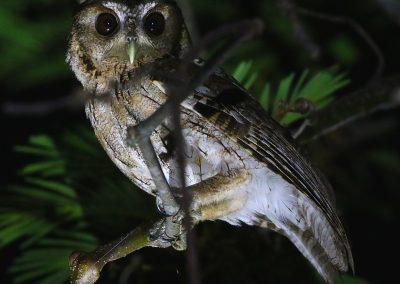Balsas Screech-Owl (Aidan G. Kelly)