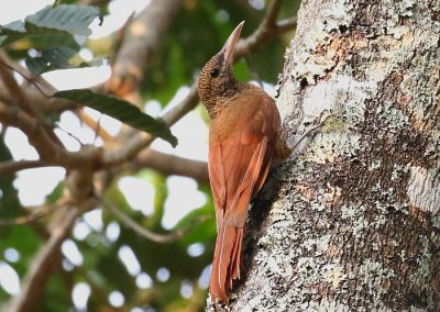 Barred [sheffleri] Woodcreeper (Aidan G. Kelly)