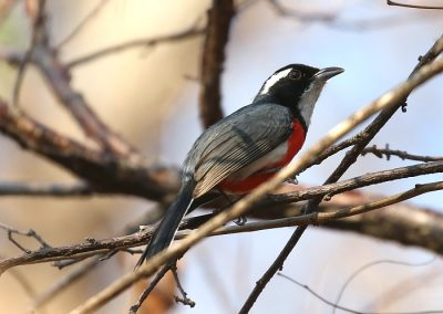 Red-breastedChat (Aidan G. Kelly)