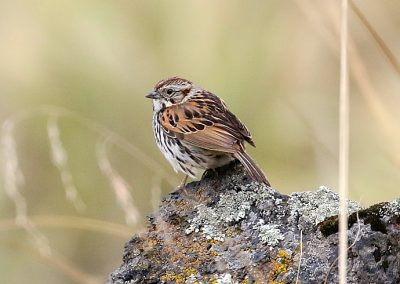 Sierra Madre Sparrow (Aidan G. Kelly)