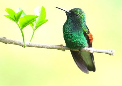 White-tailed Hummingbird (Aidan G. Kelly)