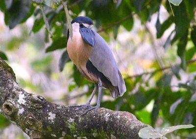 Boat-billed Heron Tony Licata