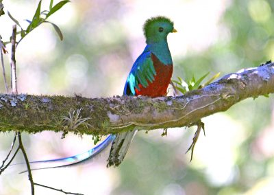 Quetzal_1451Panama