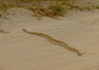 Baja Rattlesnake (Crotalus enyo)