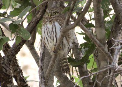 Cape Pygmy-Owl (Baja Endemic)