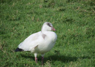 Ross's Goose (Loretto, BCS)