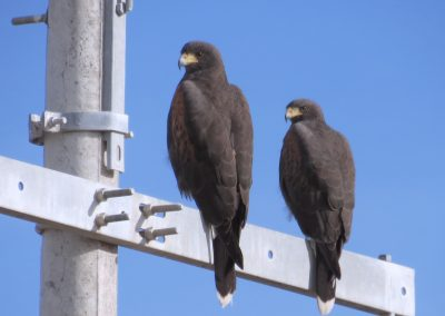 Harris's Hawk (Pair)
