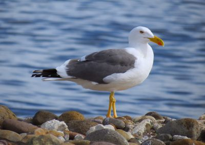Yellow-footed Gull (Gulf of California Endemic)