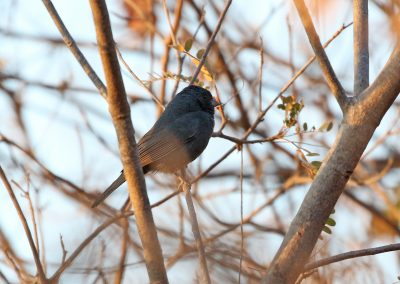 Slate-blue Seedeater1