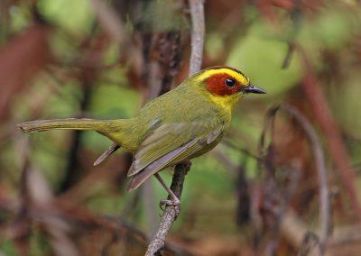 Golden-browed Warbler - Revolcaderos, Durango