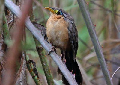 Lesser Ground Cuckoo - Tepic, Nayarit