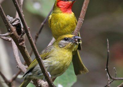 Red-headed Tanager - Rancho La Noria, Nayarit