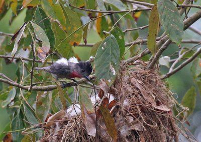 Rose-throated Becard (male displaying) - Gomez Farias, Tamaulipas