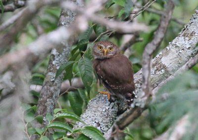 Tamaulipas Pygmy-Owl - El Cielo, Tamaulipas