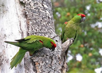 Thick-billed Parrot1 - Madera, Chihuahua