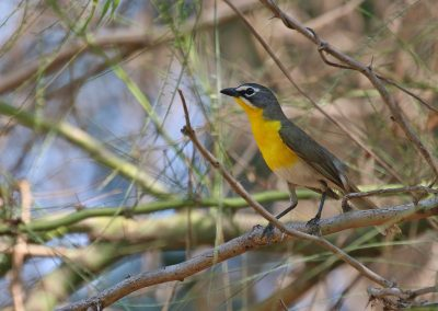 Yellow-breasted Chat - Hermosillo, Sonora